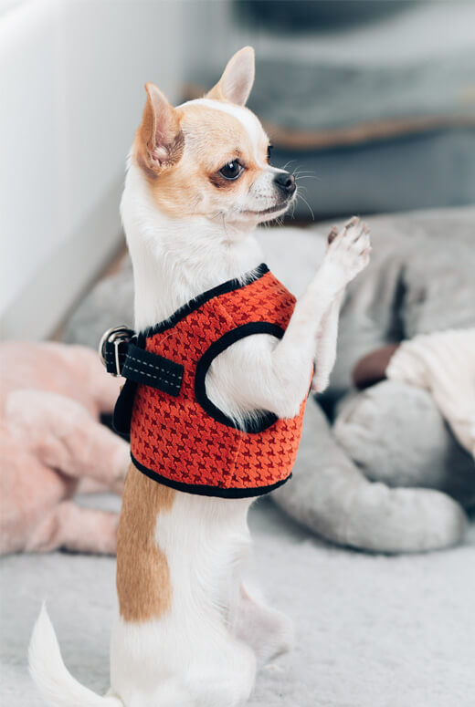dog harness soho orange bowl and bone republic ps2sa