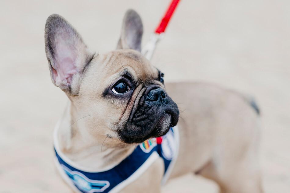 dog harness lead denim navy bowl and bone republic ls2sa blog